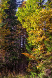 Jaskrawy jesień krajobraz, żółci liście klonowi Fotografia Royalty Free