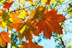 Jaskrawy jesień krajobraz Jesieni drzewo opuszcza niebieskiego nieba tło Zdjęcie Royalty Free