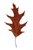 Jaskrawy jesień liść Obrazy Royalty Free