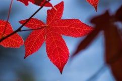Jaskrawy jesień liść Zdjęcia Royalty Free