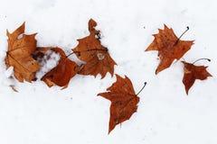 Jaskrawy jesień liści czysty biały śnieg obrazy royalty free