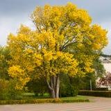 Jaskrawy jesieni drzewo Lipowy Obrazy Stock