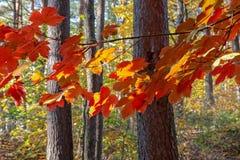 Jaskrawy jesieni ulistnienie drzewa zdjęcie stock