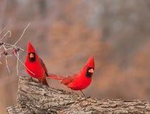 jaskrawy kardynałów męska północna czerwień dwa Obrazy Stock