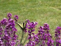 Jaskrawy kolorowy żółty tygrysi swallowtail motyl i purpurowi kwiaty zamykamy w górę zdjęcia stock