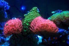 Jaskrawy kolorowy denny anemon obraz stock
