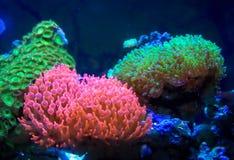 Jaskrawy kolorowy denny anemon zdjęcie royalty free