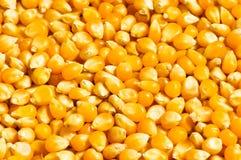 Jaskrawy kukurydzani nasiona zdjęcie stock