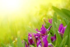 jaskrawy kwiatów wiosna światło słoneczne Obrazy Royalty Free