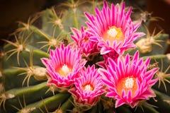 Jaskrawy kwiat kaktus Fotografia Royalty Free