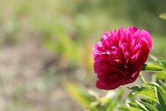 Jaskrawy kwiat w wiosna ogródzie fotografia stock