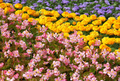 Jaskrawy kwiatu dywan lata ogrodu Obraz Stock
