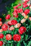 Jaskrawy kwitnie dwoisty opóźniony tulipanu zakończenie Kwitnąć kwitnie na wiosny łące green ogrodowa Obrazy Royalty Free