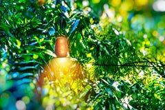 Jaskrawy lampion wśród zielonego ulistnienia obrazy royalty free