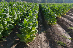 Jaskrawy liść tabacznego pola szczegół Obrazy Stock