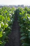 Jaskrawy liść tabacznego pola szczegół Fotografia Stock