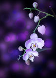 Jaskrawy lila orchidea zdjęcie royalty free