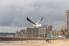 jaskrawy lota obrazka seagull pogodny obrazy royalty free