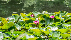 Jaskrawy lotos w jeziorze Obraz Royalty Free
