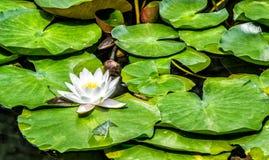 Jaskrawy lotos w jeziorze Zdjęcie Stock