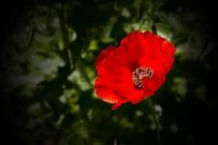 jaskrawy makowa czerwień Obraz Royalty Free