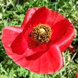jaskrawy makowa czerwień Fotografia Stock