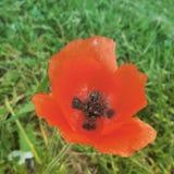 jaskrawy makowa czerwień zdjęcie royalty free
