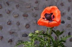 Jaskrawy makowy kwiatu kwitnienie w wiośnie Fotografia Royalty Free