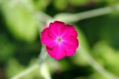 Jaskrawy menchia kwiat w zieleni opuszcza odgórnego widok Obraz Royalty Free