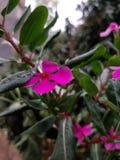 Jaskrawy menchia kwiat z dewdrops na nim Th liście trzymają rosy wodę w ten sposób satysfakcjonujący obraz stock
