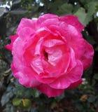 Jaskrawy menchii róży kwiat w ogródzie obrazy royalty free