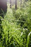 Jaskrawy na krawędzi lasu - zielona trawa Obraz Royalty Free