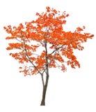 Jaskrawy odosobniony czerwony klonowy drzewo Zdjęcie Stock