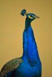 Jaskrawy paw w profilu Przeciw Neutralnemu tłu obrazy royalty free