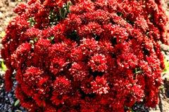 Jaskrawy piękny kwiatonośny krzak z czerwień kwiatami, kwiaty w ogródzie zdjęcie stock