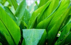 Jaskrawy po deszczu - zielony liść Obraz Stock