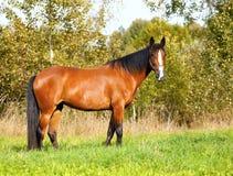 Jaskrawy podpalany koń pasa na polu Fotografia Stock