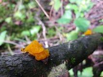 Jaskrawy pomarańczowy jadalny galaretowego grzyba Tremella mesenterica na starej drewno gałąź zdjęcia stock