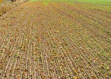 Jaskrawy pomarańczowy jesieni ulistnienie obok pola potomstwa zielenieje banatki zdjęcia royalty free