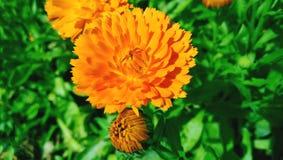 Jaskrawy pomarańczowy kwiat calendula na kwiatu łóżku Zdjęcia Stock