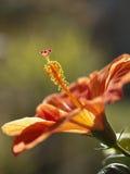 Poślubnika kwiat Obrazy Stock