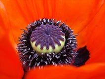 Jaskrawy pomarańczowy orientalny maczek makro- obraz royalty free