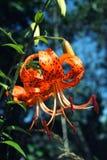 Jaskrawy pomarańczowy tygrysiej lelui zakończenie up Zdjęcie Royalty Free