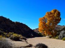 Jaskrawy Pomarańczowy jesieni drzewo w Joshua drzewa parka narodowego pustyni Zdjęcie Royalty Free