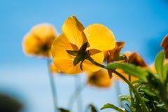 Jaskrawy pomarańczowy pansy kwiat przeciw niebieskiemu niebu Fotografia Stock