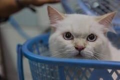 Jaskrawy przyglądający się Perski kot Zdjęcia Royalty Free