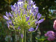 Jaskrawy purpur i zieleni agapanthus kwiat Zdjęcia Royalty Free