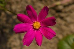 Jaskrawy purpurowy cosme kwiat fotografia stock