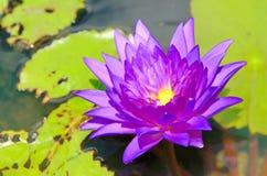 Jaskrawy purpurowy lotos w stawie Fotografia Royalty Free