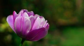 Jaskrawy purpurowy tulipan w wiosna ogródzie Obraz Stock